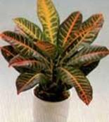 Croton Sindapsus (Codiaeum Variegatum)