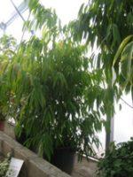 Ficus Alii (alto) (Ficus binnendiijkii 'Alii')