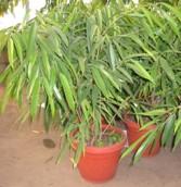 Ficus Alii (bajo) (Ficus binnendiijkii 'Alii')