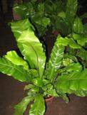 Helecho Nido de Ave (Asplenium Nidus)