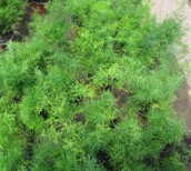 Helecho esparraguera (Asparragus Falcatum)