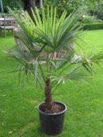 Palmera Trachicarpus (Trachycarpus Fortunei)