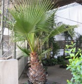 Palmera Washintonia (Washingtonia Filifera)