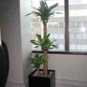 Palo de Agua Trio (Dracaena Fragans Massageana)