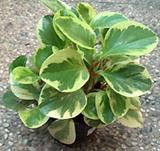 Peperonia Variegada (Peperomia obtusifolia)
