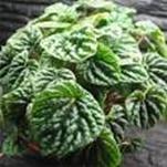Peperonia (Peperomia Caperata)