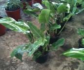 Philodendro Longifolia