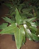 Philodendro Príncipe negro