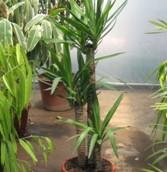 Yuca Trío (Yucca Elephantipes)