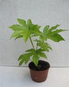 Aralia Japonica (Fatsia Japonica)