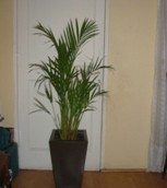 Areca Real (Dypsis Lutescens)