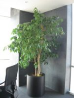 Ficus Benjama (alto)