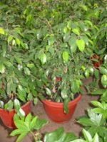 Ficus Benjamina (bajo)