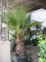 Palmera Washintonia (Washingtonia Filifera)