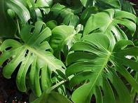 Philodendro Común (Monstera Deliciosa)