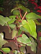 Philodendro Sanguíneo