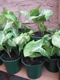 Singonium (Syngonium Podophyllum)